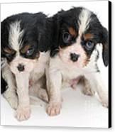 Spaniel Puppies Canvas Print