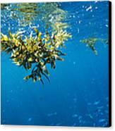 Tropical Seaweed Canvas Print by Alexis Rosenfeld