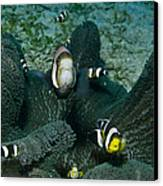 Whole Family Of Clownfish In Dark Grey Canvas Print