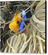 Yellowtail Anemonefish In Its Anemone Canvas Print by Alexis Rosenfeld