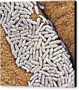 E Coli Bacteria, Sem Canvas Print by Steve Gschmeissner