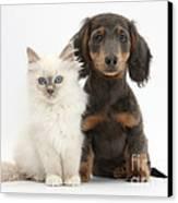 Blue-point Kitten & Dachshund Canvas Print by Mark Taylor