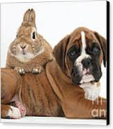Boxer Puppy And Netherland-cross Rabbit Canvas Print by Mark Taylor