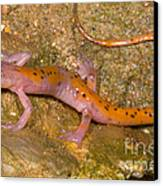 Cave Salamander Canvas Print