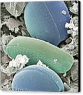 Diatom Algae, Sem Canvas Print by Steve Gschmeissner