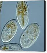 Frontonia Protozoa, Light Micrograph Canvas Print by Frank Fox