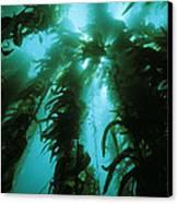 Giant Kelp Canvas Print by Georgette Douwma