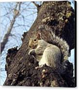 Grey Squirrel Canvas Print by Georgette Douwma