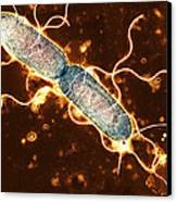 Gut Bacterium Reproducing, Tem Canvas Print by Hazel Appleton, Centre For Infectionshealth Protection Agency