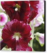 Hollyhock (alcea Rosea) Canvas Print