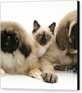 Puppies And Kitten Canvas Print by Jane Burton