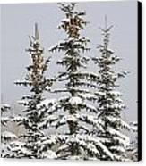 Snow Covered Evergreen Trees Calgary Canvas Print