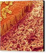 Trachea Lining, Sem Canvas Print