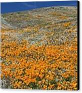 Californian Poppies (eschscholzia) Canvas Print by Bob Gibbons