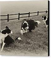 3 Collies Canvas Print by Miguel Capelo