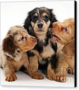 Dachshund Pups Canvas Print by Jane Burton
