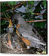 Robin Feeding Its Young Canvas Print by Ted Kinsman