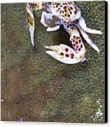 Spotted Porcelain Crab Feeding Canvas Print