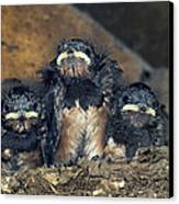 Swallow Chicks Canvas Print by Georgette Douwma