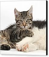 Tabby Kitten & Border Collie Canvas Print by Mark Taylor