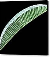 Diatom, Sem Canvas Print by Steve Gschmeissner