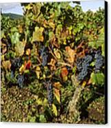 Grapes Growing On Vine Canvas Print by Bernard Jaubert