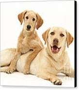 Labradoodle And Labrador Retriever Canvas Print by Jane Burton