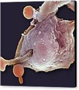 Neutrophil Engulfing Thrush Fungus, Sem Canvas Print
