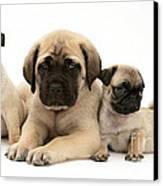 Pug And English Mastiff Puppies Canvas Print by Jane Burton