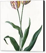 5 Tulip Tulip  Canvas Print