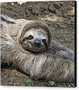 Brown-throated Three-toed Sloth Canvas Print by Suzi Eszterhas