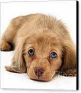 Dachshund Pup Canvas Print