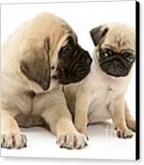 Pug And English Mastiff Puppies Canvas Print