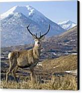 Red Deer Stag Canvas Print by Duncan Shaw