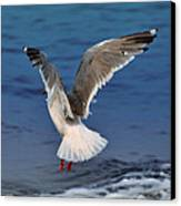 Seagull  Canvas Print by Debra  Miller