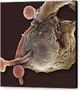 Neutrophil Engulfing Thrush Fungus, Sem Canvas Print by