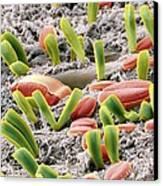 Diatoms, Sem Canvas Print