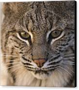 A Bobcat At The Rolling Hills Zoo Canvas Print by Joel Sartore