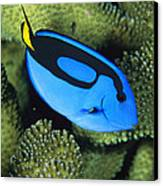 A Bright Blue Palette Surgeonfish Canvas Print