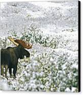 A Bull Moose On A Snow Covered Hillside Canvas Print by Rich Reid