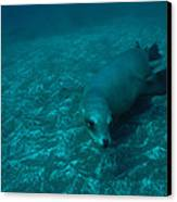 A California Sea Lion Swims Close Canvas Print by Heather Perry