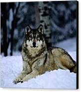 A Captive Grey Wolf, Canis Lupus Canvas Print by Joel Sartore
