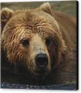 A Close View Of A Captive Kodiak Bear Canvas Print by Tim Laman