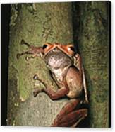 A Collets Tree Frog Rhacophorus Colleti Canvas Print