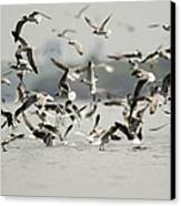 A Flock Of Laughing Gulls Larus Canvas Print by Tim Laman