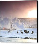 A Group Of Bison Feeding In The Snow Canvas Print by Drew Rush