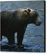 A Kodiak Brown Bear Hunts For Fish Canvas Print by George F. Mobley