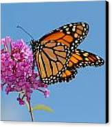 A Monarch Butterfly, Danaus Plexippus Canvas Print by Darlyne A. Murawski