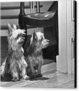 A Pair Of Australian Silky Terriers Canvas Print by Willard Culver