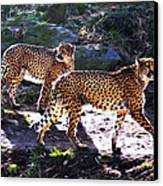 A Pair Of Cheetah's Canvas Print